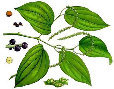 Disegno botanico della pianta di piper nigrum