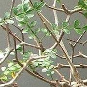 pianta di pepe
