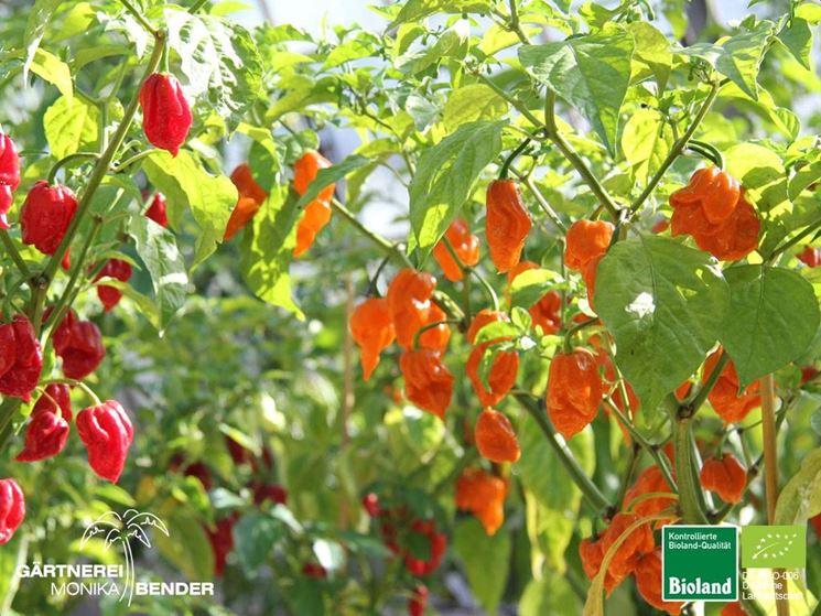 Habenero red ed orange