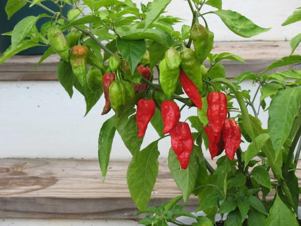 Peperoncino varieta aromatiche variet di peperoncino for Peperoncino in vaso