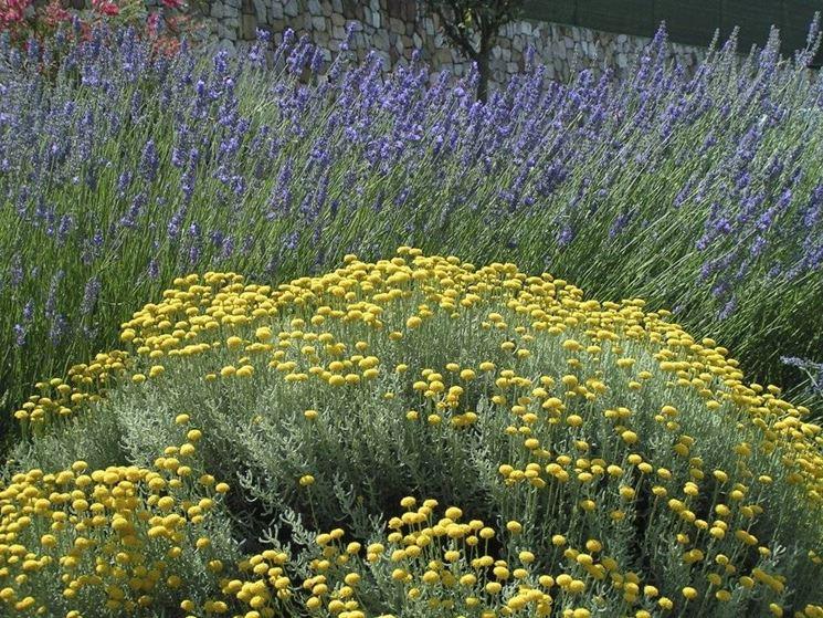 L'assenzio produce fiori gialli