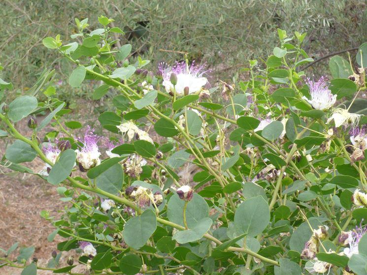 Pianta del cappero durante la fioritura