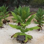 Plectranthus pianta
