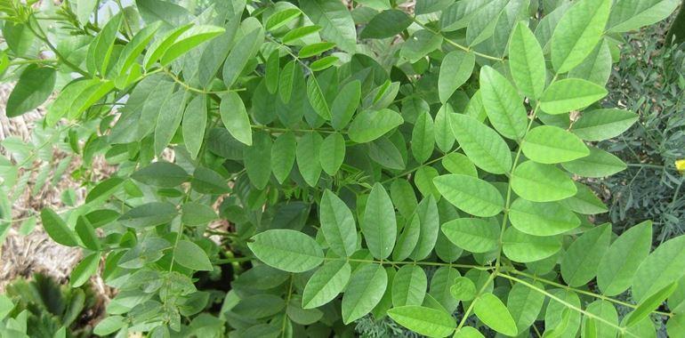 <h6>Pianta della liquirizia</h6>Propriet� e virt� di questa pianta aromatica molto conosciuta e amata, dal sapore inconfondibile.