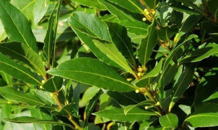 Pianta di alloro aromatiche pianta di alloro for Alloro siepe