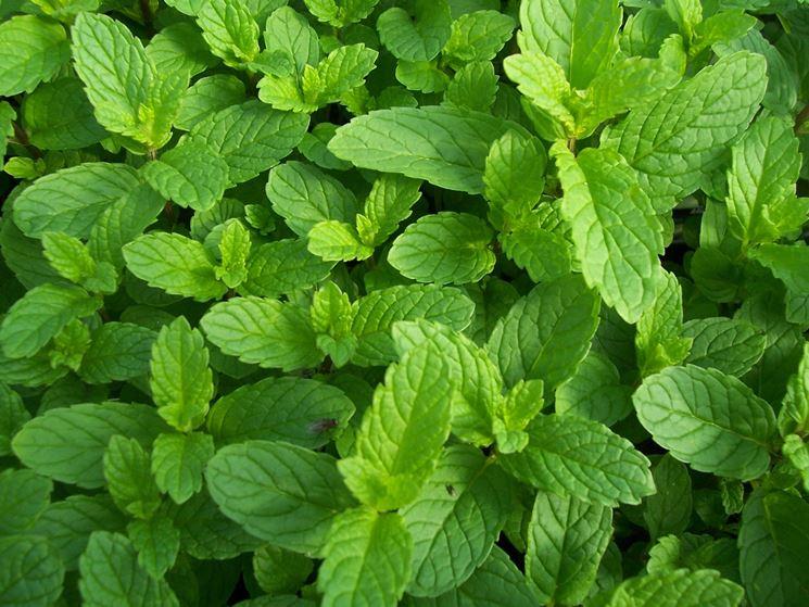 Particolare delle foglie di menta piperita