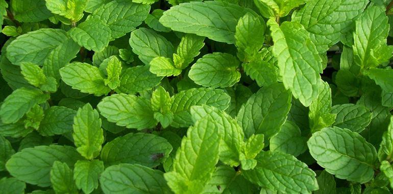 <h6>Pianta di menta</h6>Coltiva anche tu la pianta di menta nel tuo giardino! Potrai preparare sciroppi, dolci, piatti salati e altro ancora!