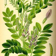 pianta della liquirizia