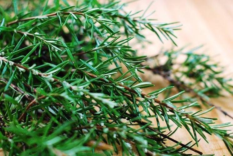 Diverse varietà di piante di rosmarino