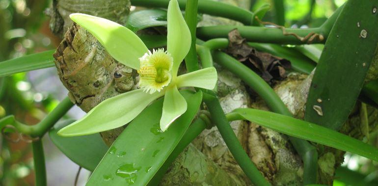 <h6>Pianta vaniglia</h6>La pianta della vaniglia presenta delle particolari bacche nere da cui si ricava la delicata e profumata vaniglia. Scopri come coltivare la pianta con i nostri suggerimenti!