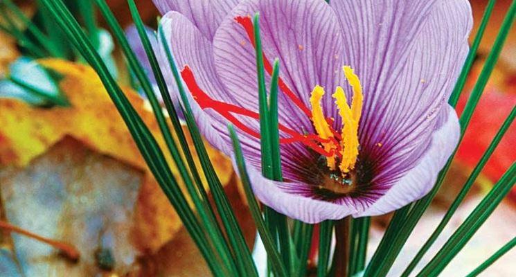 Pianta dello zafferano fiorita