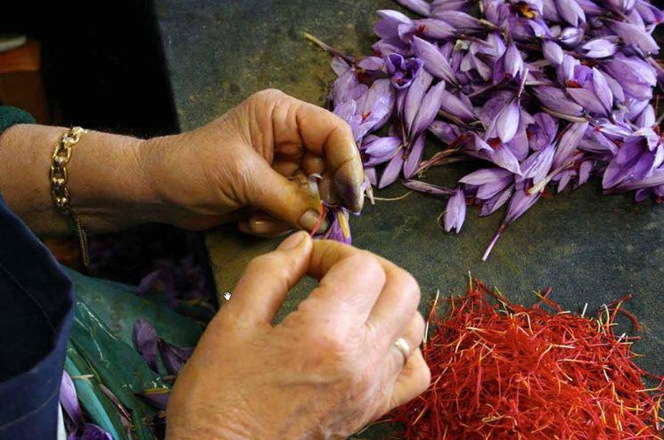 Lavorazione manuale dello zafferano
