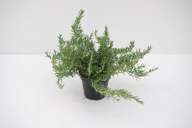 Rosmarino piantato su un vaso