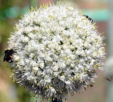 Fotografia di un fiore d'aglio