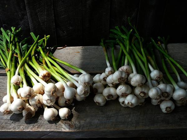 quando si pianta l 39 aglio aromatiche quando meglio