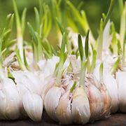 quando si pianta l aglio