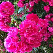 Esemplare di Rosa Rampicante Rambler