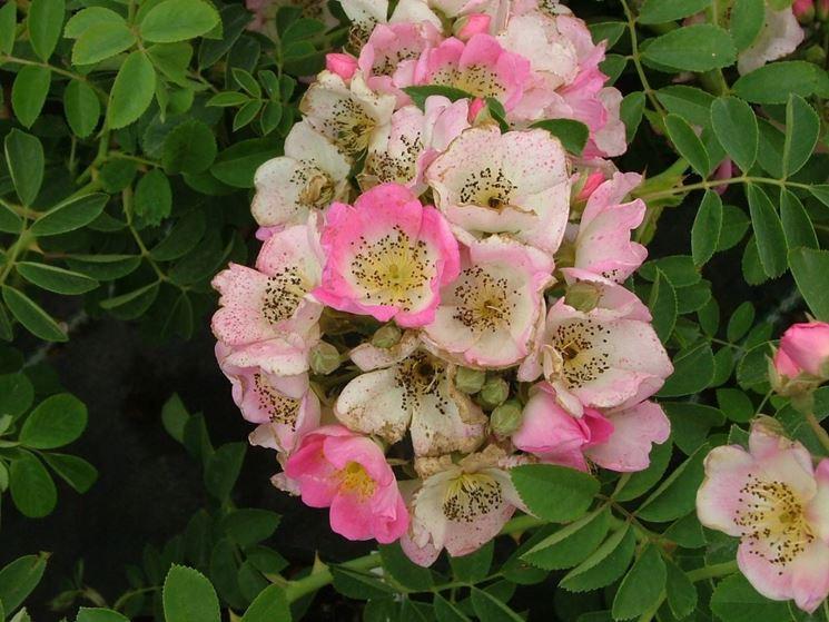 Boccioli di Rosa Rambler in piena fioritura