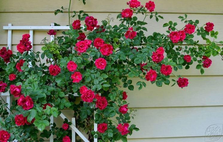 Rosa Climber