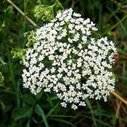 fiori pimpinella