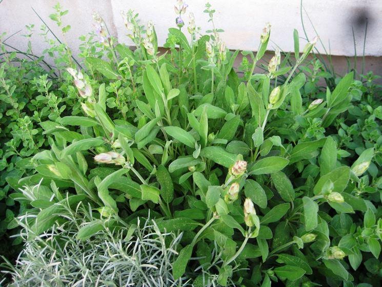 Salvia aromatica