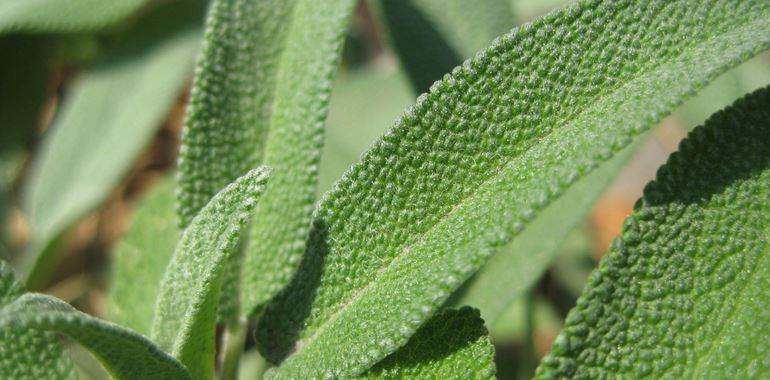 <h6>Salvia officinalis</h6>La usi in cucina ma vuoi conoscere tutte le altre propriet� della salvia? Scoprile in questo articolo.