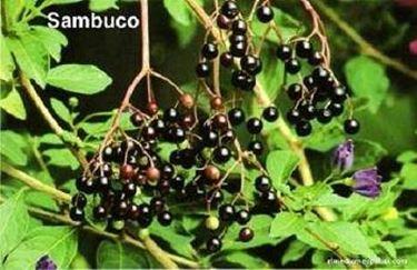 Il sambucus nigra