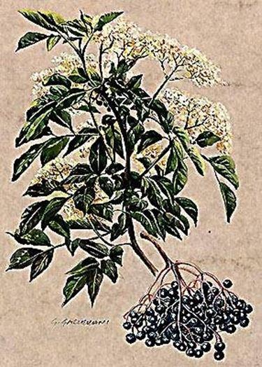 Un ramo di sambucus nigra.