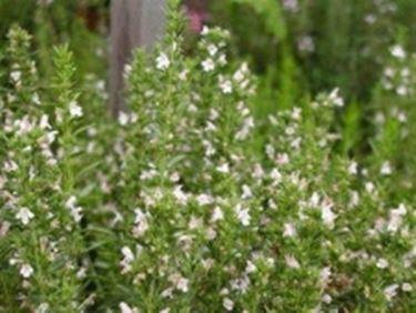 Santoreggia montana aromatiche