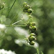 Semi di coriandolo freschi