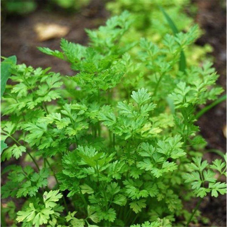 Pianta di coriandolo: foglie