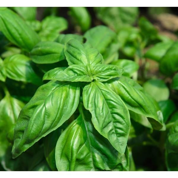 semina basilico aromatiche basilico semina