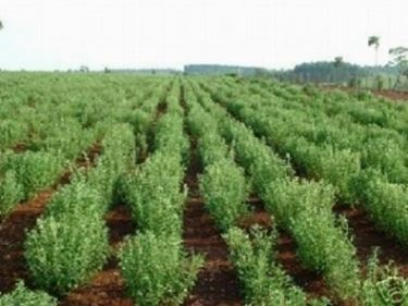 campi di stevia