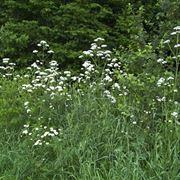Esempio di valeriana officinal dai fiori bianchi