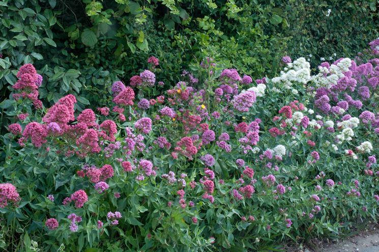 Valeriana officinalis dai fiori viola e rosa