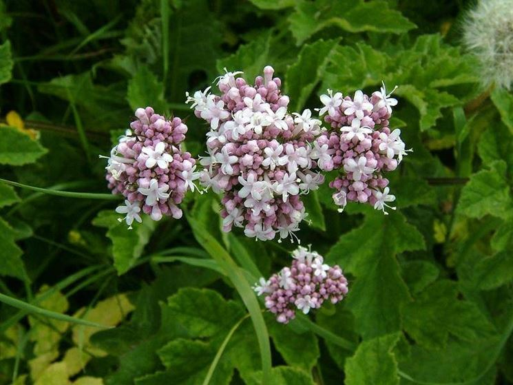 Particolare del fiore di valeriana