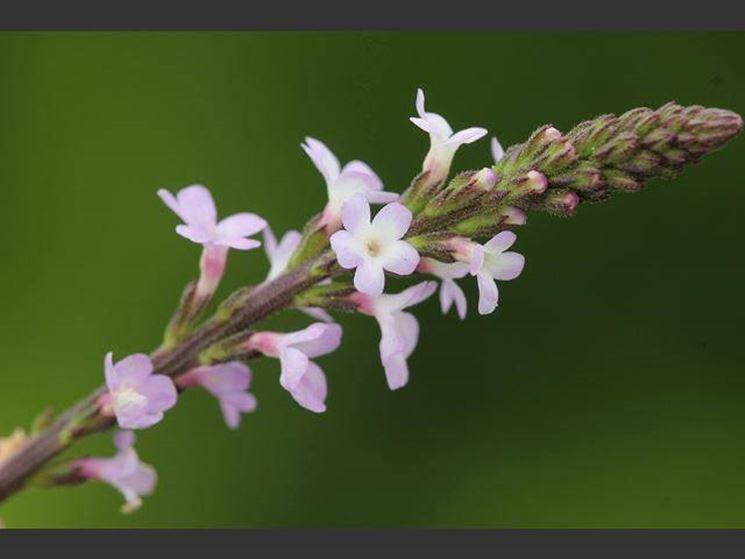 Fiore della verbena officinalis