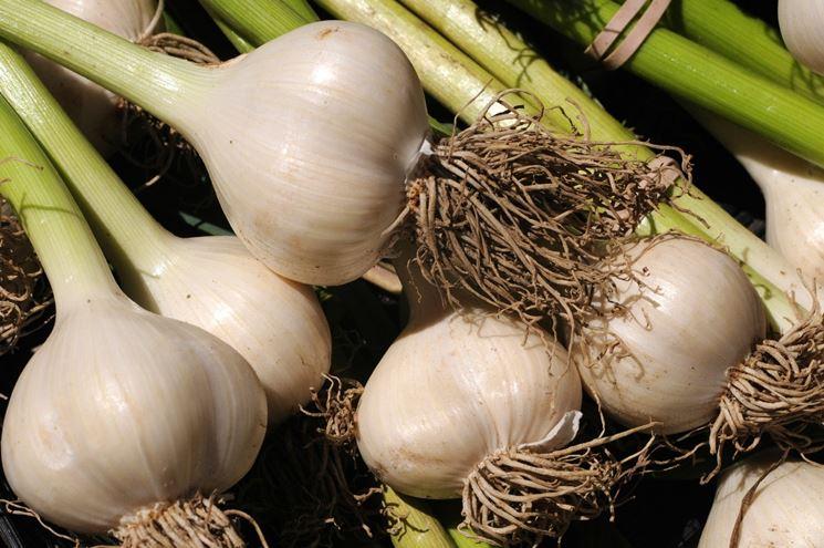 Bulbi di aglio