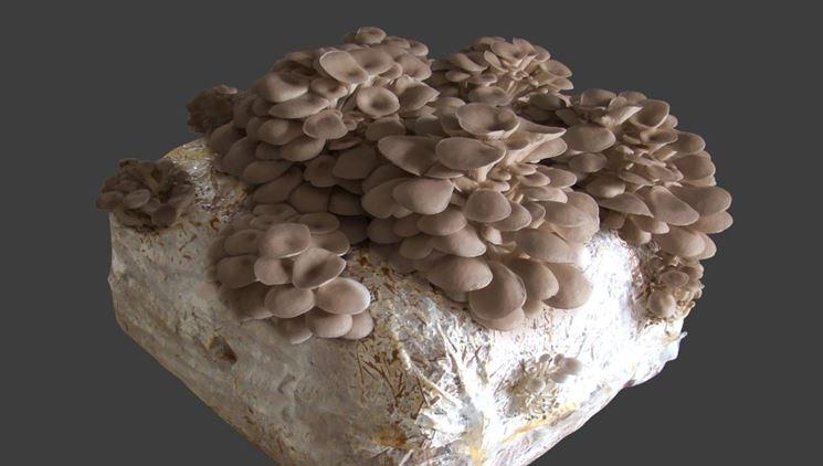 Balla funghi pleurotus