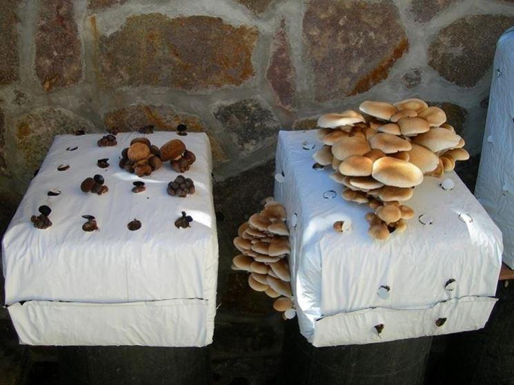 Funghi in balle preconfezionate