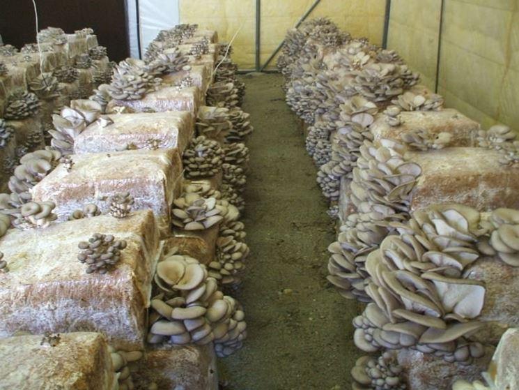 Funghi pleurotus king in serra