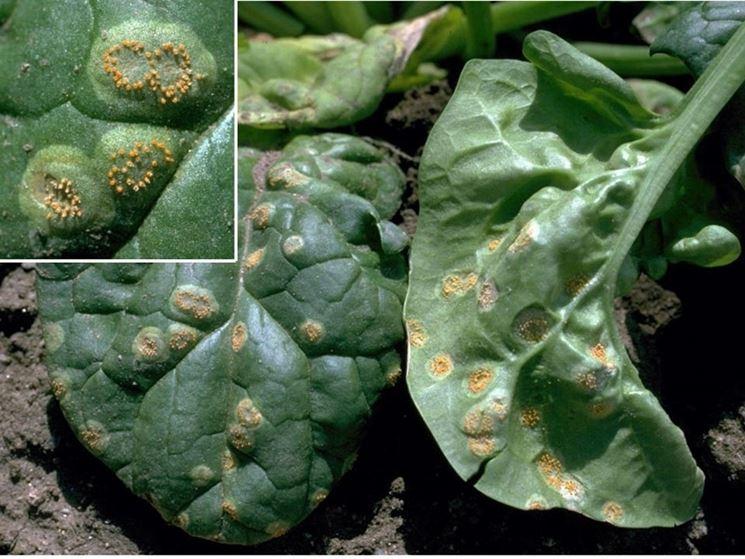 Puccinia barbabietola
