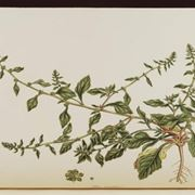 Illustrazione botanica di Beta Vulgaris