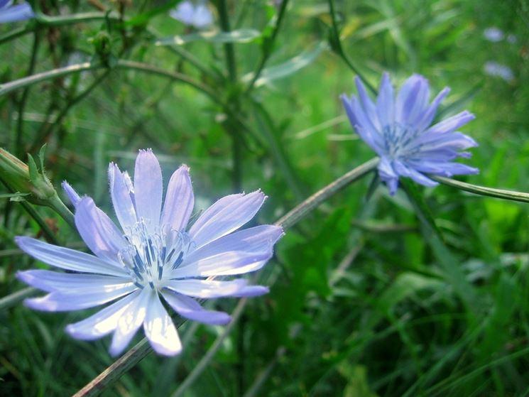 La cicoria in fioritura