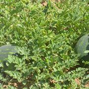 Coltivazione dei cocomeri