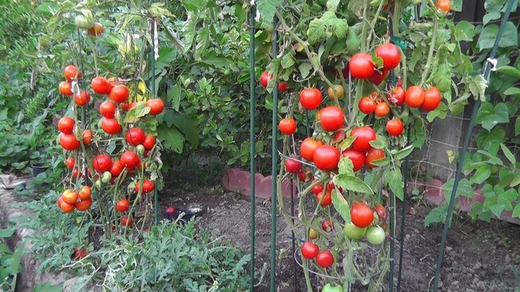 Cimatura della pianta di pomodoro