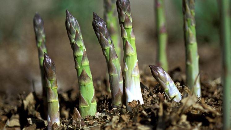 asparagi coltivazione