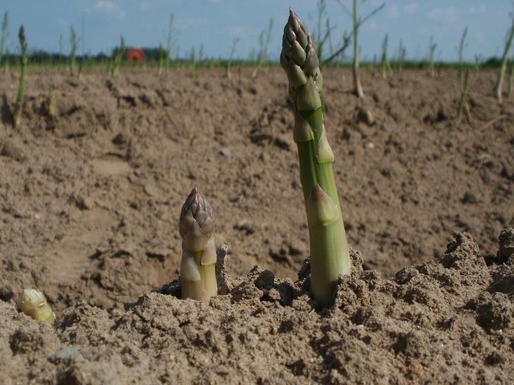 concimare asparagi