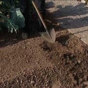 semina asparagi