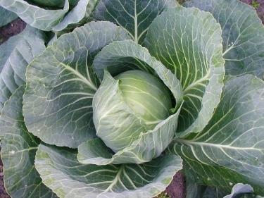 Coltivazione cavolo cappuccio ortaggi for Ortaggi estivi